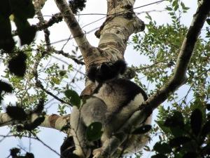 #Indri Indri