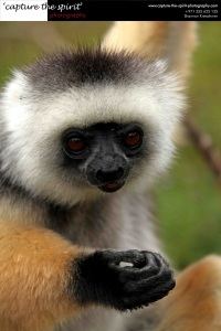 #Diademed Sifaka #Vakona Lodge #Madagascar