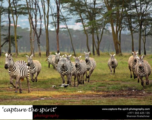 #zebra, #lakenakuru