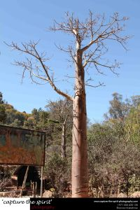 #tree #baobab