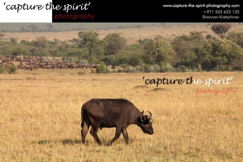 #buffalo #male