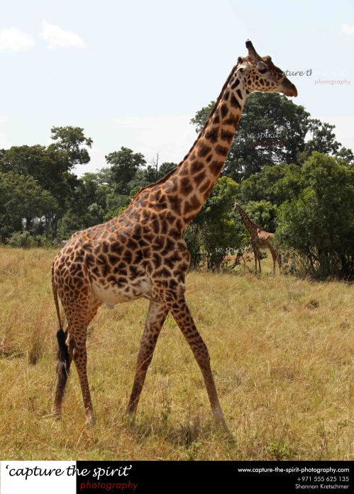 #giraffe #masaimara