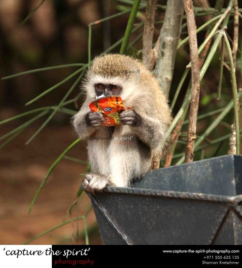 vervet monkey having a healthy snack