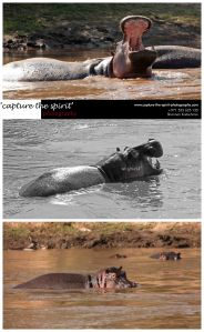 A Hippopotamus in the Mara River